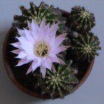 Mª del Camino: Este es un regalo que me hicieron hace ya algunos años: un pequeño cactus que apenas medía cinco centímetros de diámetro. Creció y de vez en cuando nos alegra con flores tan bonitas como la que se ve en la foto, generando nuevos pequeños cactus a su alrededor. Es un regalo que perdura en el tiempo y no genera residuos, pues tierra, planta y maceta, que es de arcilla, se reciclan de una manera natural. Además, como todas las plantas, absorbe dióxido de carbono y produce oxígeno, lo cual también es muy bueno para el medio ambiente.